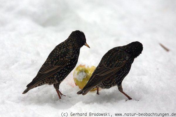 Arbeitsblatt Vögel Füttern Im Winter : Äpfel für vögel aufhängen gesund füttern natur