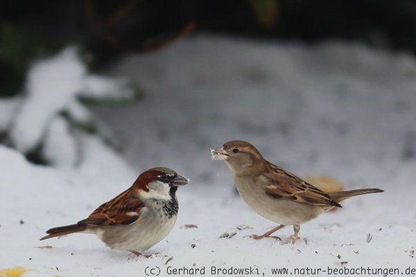 Vogeltränke äpfel für vögel aufhängen vögel gesund füttern natur beobachtungen