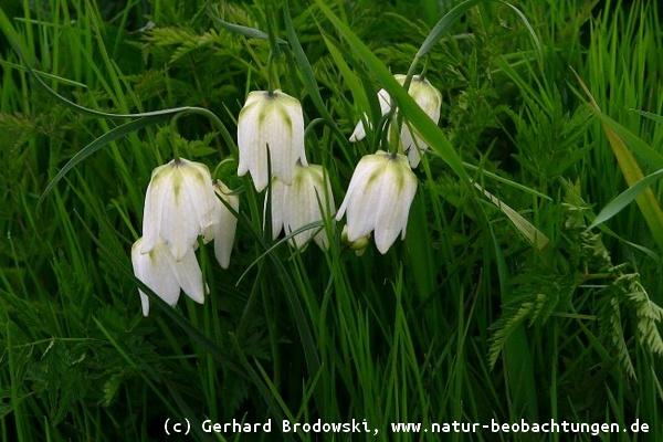 Blumen bestimmen - Wiesen- und Wildblumen Steckbriefe, Bilder mit ...