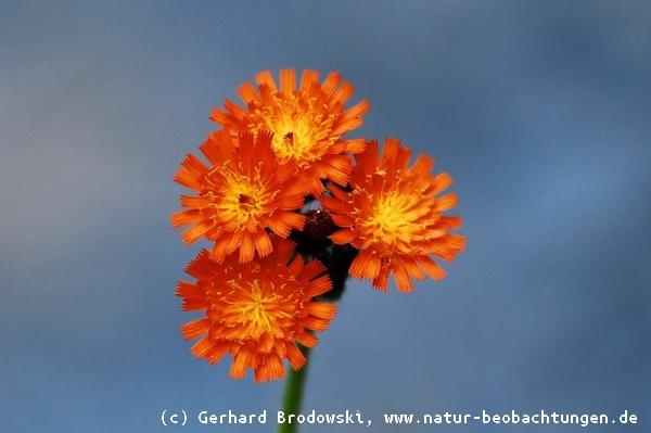 Blumen Bestimmen Wiesen Und Wildblumen Steckbriefe Bilder Mit
