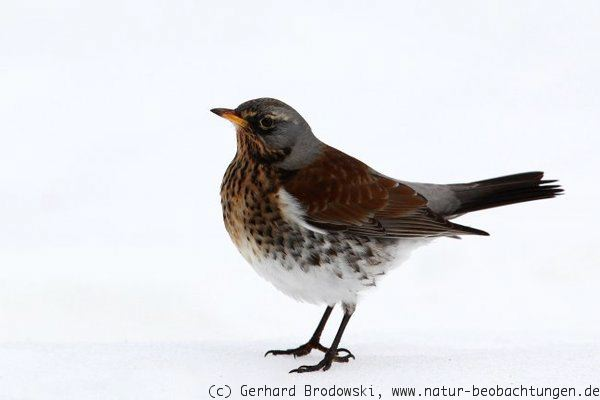 Vogel Im Winter In Unserem Garten: Friedberg im winter.