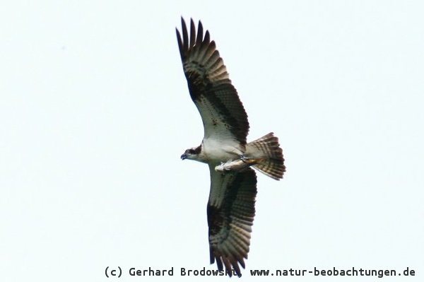 Flugbilder - Greifvögel, Singvögel, Enten, Gänse ...