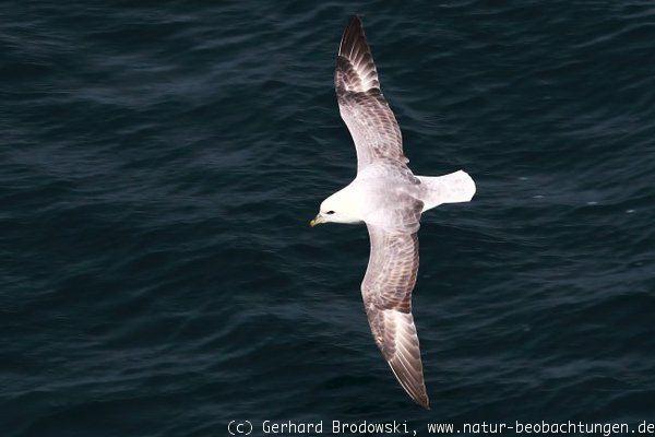 welch flügelspannweite hat der albatros