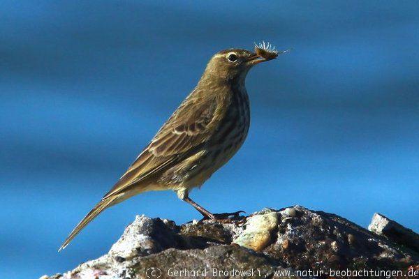 seltene vögel in deutschland
