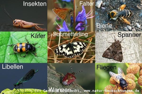 insekten bestimmen steckbrief k fer namen feinde bilder natur beobachtungen. Black Bedroom Furniture Sets. Home Design Ideas