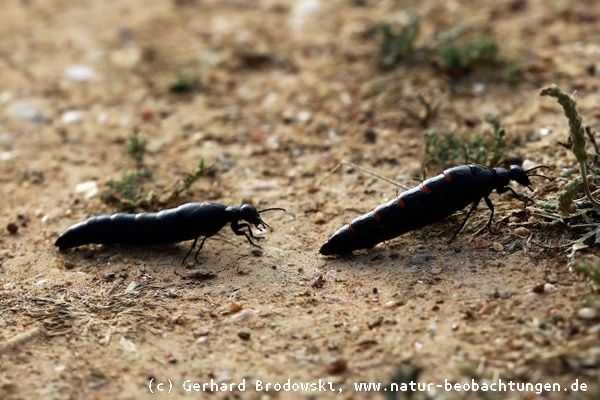 Käfer lange fühler