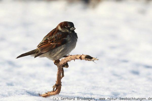 Spatz / Haussperling im Winter